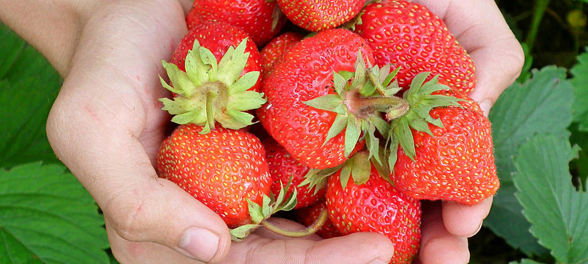 Feldfrische Erdbeeren